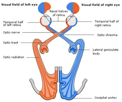 optic nerve tract